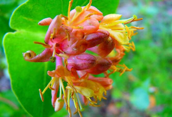Wild Honeysuckle by MaeBelle