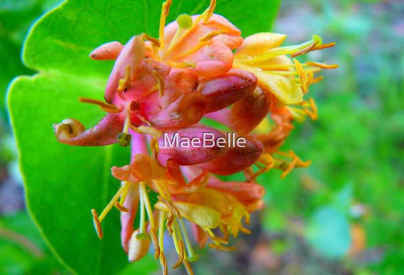 Wild Honeysuckle by MaeBelle