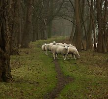 Sheep on the dike by steppeland