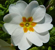 White primrose with golden core by bubblehex08