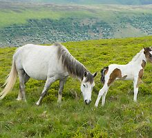Wild Welsh Ponies by Skye Hohmann