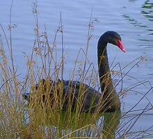 Black Swan in the Grass by MaryinMaine