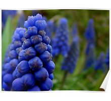 Blossoms as fruit - bunches of grape hyacinth Poster