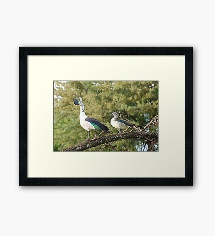 morning perch.  knob-billed duck. Framed Print