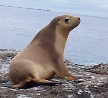 Funky Juan Fernández Fur Seal by cute-wildlife