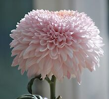Soft and Pink Crysanthemum by Lozzar Flowers & Art