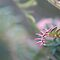 fern leaf grevillea by lorelle