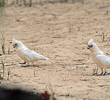 Little Corellas. Burrum Heads National Park, Queensland, Australia.  by Ralph de Zilva