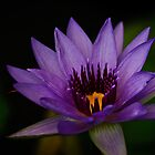 water lily in lavender by Gerry Daniel