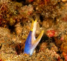 blue ribbon eel - rhinomuraena quaesita by spyderdesign