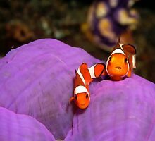 false clown anemonefish - amphiprion ocellaris by spyderdesign