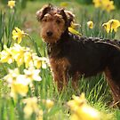 Welsh Terrier puppy amongst daffodils by Christopher Cullen