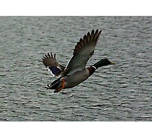 Waterfowl in Flight #4 Photographic Print
