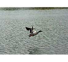 Waterfowl in Flight #9 Photographic Print