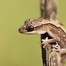 Eastern Stone Gecko by Steve Bullock
