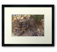 Yellow Footed Rock Wallaby Framed Print