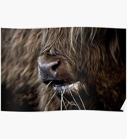 Hamish, Highland Cow, Kilmahog Poster