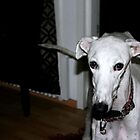 Meet Galgo Ron by homesick