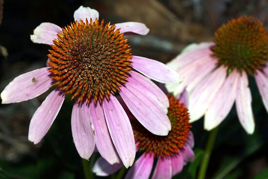 Purple coneflowers by ♥⊱ B. Randi Bailey