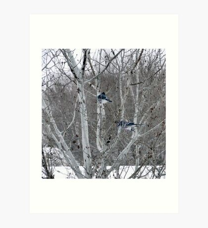 Aspens and Blue Jays Art Print