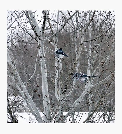 Aspens and Blue Jays Photographic Print