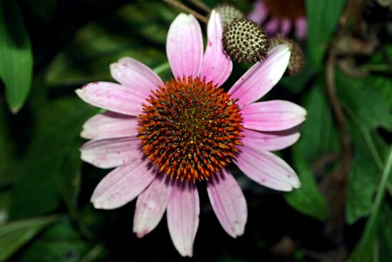 Purple coneflower by ♥⊱ B. Randi Bailey