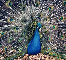 Peacock II by yolanda