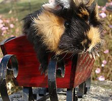 Buddy The Guinea Pig Wishes You A Merry Christmas by angelandspot