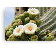 Three Open Saguaro Blooms Canvas Print