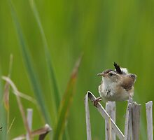 A Song among the Cattails by DigitallyStill