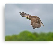 Lanner Falcon in Flight Canvas Print