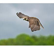 Lanner Falcon in Flight Photographic Print