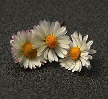 Daisy Trio by vbk70