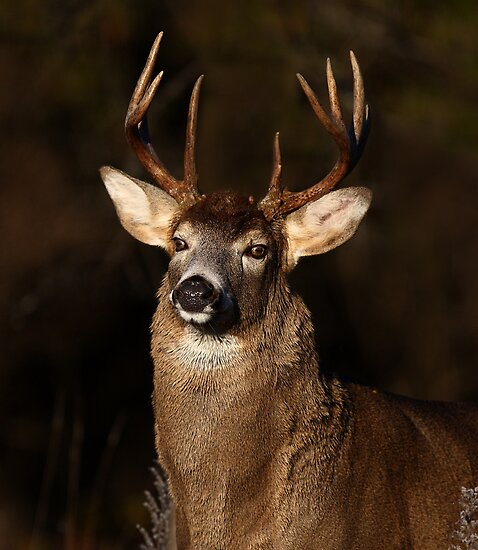 I am 'King' of this forest! - White-tailed Deer by Jim Cumming