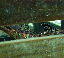 Spiny Lobster in Pot by Christopher Smart