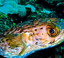 Happy Pufferfish by Christopher Smart