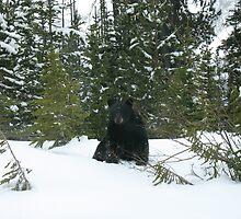 Black bear in the Snow, Banff National Park by KerryElaine