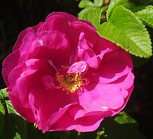 Rosehip Flower by Karin  Funke