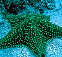 Bahamian Sea Star by Christopher Smart