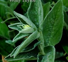 Wolly Thyme by Bruce Bishop
