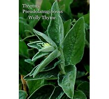 Wolly Thyme Photographic Print