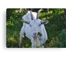 Burren Goat Canvas Print