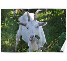 Burren Goat Poster
