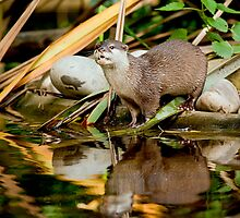 Oriental Small-clawed Otter by Stuart Robertson Reynolds