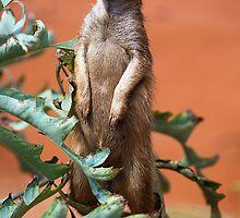 Meerkat by Stuart Robertson Reynolds