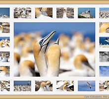 Gannets at Cape Kidnappers, New Zealand by Brenda Anderson