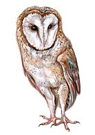 Barn owl drawing by stasia-ch