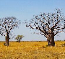 Boab Trees, Kimberley, Western Australia by John Donkin