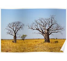 Boab Trees, Kimberley, Western Australia Poster