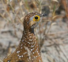 Burchell's Sandgrouse by naturalnomad